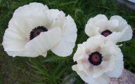 White Flowers With Black Center 11 Desktop Wallpaper