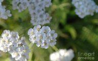 White Wildflowers 27 Desktop Background