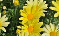 Yellow Flowers And Meanings 5 Background