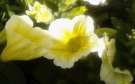 Yellow Flowers Annuals 11 Hd Wallpaper