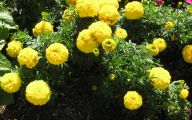 Yellow Flowers Annuals 25 Free Wallpaper