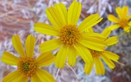 Yellow Flowers Arizona 17 Hd Wallpaper