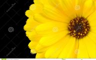 Yellow Flowers Black Center 15 Background