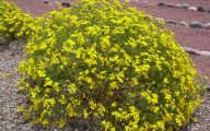 Yellow Flowers Bushes 11 Free Hd Wallpaper