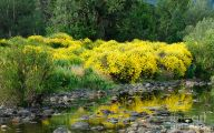 Yellow Flowers Bushes 3 Free Hd Wallpaper