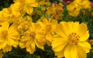Yellow Flowers List 4 Free Hd Wallpaper