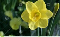 Yellow Flowers That Bloom In Spring 4 Wide Wallpaper
