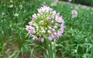 Alliums Flower 1 Widescreen Wallpaper