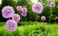 Alliums Flower 12 Background Wallpaper