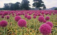 Alliums Flower 31 Hd Wallpaper
