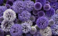 Alliums Flower 37 Cool Wallpaper
