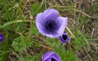 Anemone 20 Wide Wallpaper