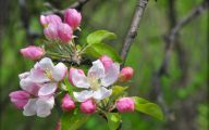 Apple Blossom 20 Background