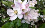 Apple Blossom 4 Desktop Wallpaper