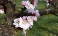 Apricot Blossom 10 Widescreen Wallpaper