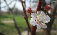 Apricot Blossom 13 Background