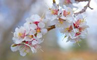 Apricot Blossom 14 Background Wallpaper