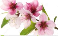 Apricot Blossom 15 Widescreen Wallpaper