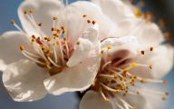 Apricot Blossom 23 Background Wallpaper