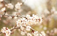 Apricot Blossom 24 Widescreen Wallpaper