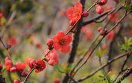 Apricot Blossom 30 Free Wallpaper