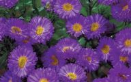 Aster Flower 2 Free Wallpaper