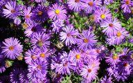 Aster Flower 26 Cool Wallpaper