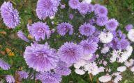 Aster Flower 36 Desktop Background