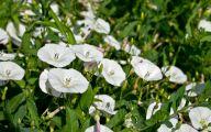 Bindweed Flower 19 Wide Wallpaper