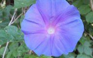 Bindweed Flower 29 Background