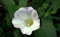 Bindweed Flower 4 Cool Hd Wallpaper