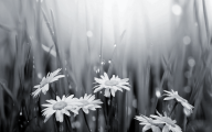Black And White Flowers Wallpaper 1 Widescreen Wallpaper