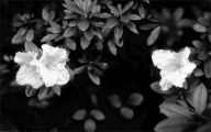 Black And White Flowers Wallpaper 23 Wide Wallpaper