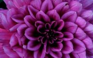 Black Dahlia Flowers 20 Desktop Wallpaper