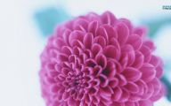 Black Dahlia Flowers 26 Hd Wallpaper