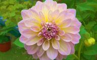 Black Dahlia Flowers 5 Widescreen Wallpaper