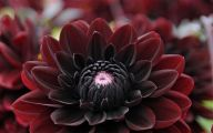 Black Dahlia Flowers 7 Background