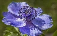Blue Anemones 13 Background Wallpaper