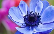 Blue Anemones 18 High Resolution Wallpaper