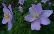 Blue Anemones 19 Cool Hd Wallpaper