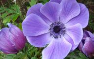 Blue Anemones 27 Free Wallpaper