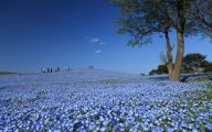 Blue Flowers In Japan  16 Cool Hd Wallpaper