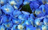 Blue Flowers In Japan  24 Background Wallpaper