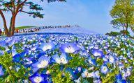 Blue Flowers In Japan  26 Wide Wallpaper