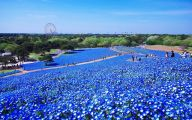 Blue Flowers In Japan  27 Cool Wallpaper