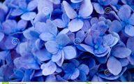Blue Flowers In Japan  31 Hd Wallpaper