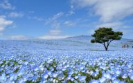 Blue Flowers In Japan  7 Free Hd Wallpaper