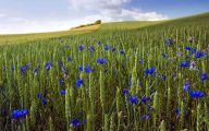 Blue Flowers June  12 Free Hd Wallpaper