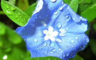 Blue Flowers June  8 Cool Hd Wallpaper