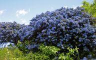 Blue Flowers On Bush  25 Hd Wallpaper